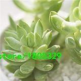 Pinkdose® 200 Aloe Mix Graines - Excellentes plantes d'intérieur succulentes SEED ALOE VERA: 4
