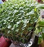 SANHOC Samen-Paket: ChiahispanicaSeeds Non GMO ez wachsen E24 -