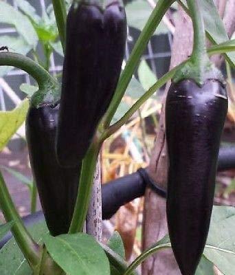 10x Chili Black Hungarian Form eines Jalapeno Samen Garten Zimmer Neu B894