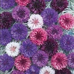 Galleria fotografica Fiore - Kings Seeds - Confezione Multicolore - Fiordaliso - Double Mix