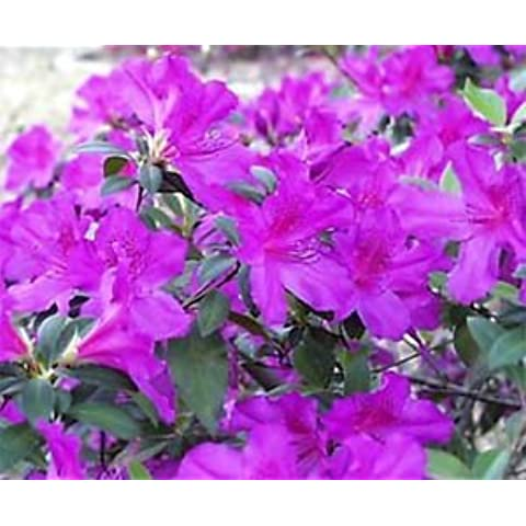 Azalea Formosa, lavender & pink flowers, evergreen,