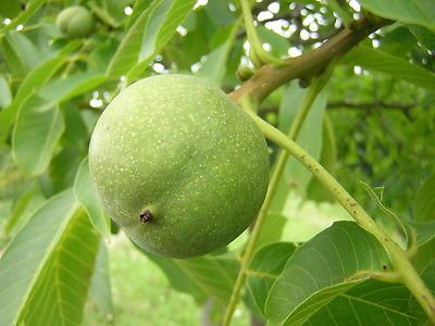 english-walnut-fruit-tree-1-2ft-in-a-2-litre-potgrow-nutspersian-juglans-regia