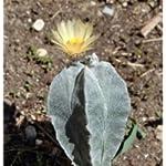 Astrophytum myriostigma columnare seeds