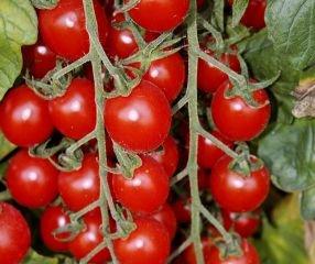Bobby-Seeds Bio-Tomatensamen Kirschtomate Bartelly F1 Portion