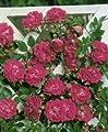 Kletter-/Ramblerrose 'Super Excelsa' -R- ADR-Rose A-Qualität Wurzelware von Rosen-Union - Du und dein Garten