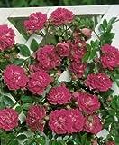 Kletter-/Ramblerrose 'Super Excelsa' -R- ADR-Rose A-Qualität Wurzelware