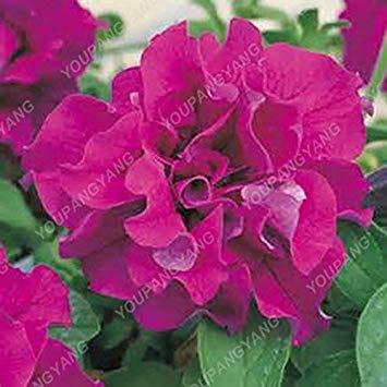 100pcs Petunia Seeds Four Seasons peut être planté 25 sortes de couleurs Pétunia Graines de fleurs Bonsai pour le bricolage jardin Plantation Rose