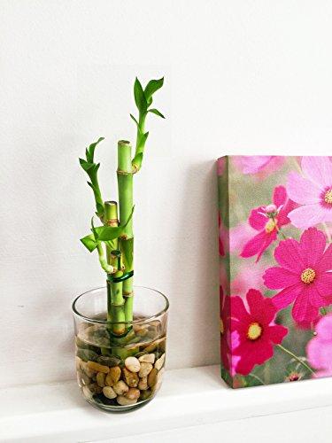 Easy Plants - Jarrón bambú Suerte Piedras 3 Unidades
