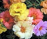 Bobby-Seeds Blumensamen Portulakröschen Gefüllte Mischung Portion