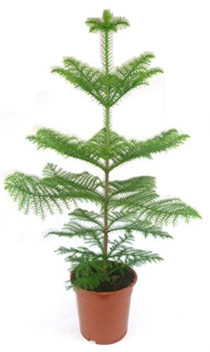 "Zimmertanne,Araukarie""Heterophylla"",Norfolktanne 90cm+/-"