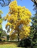 Tulpenbaum - Liriodendron tulpifera - Samen