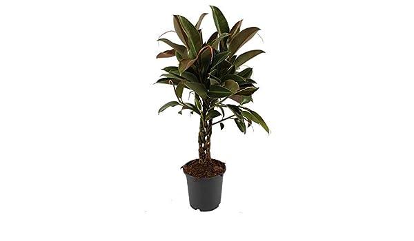 Gummibaum 100 cm geflochtener Stamm Ficus elastica Melany Zimmerpflanze