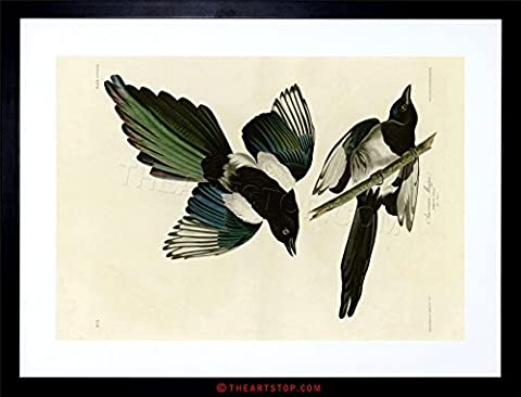 PAINTING BOOK PAGE BIRDS AMERICA AUDUBON AMERICAN MAGPIE FRAMED PRINT F97X4480