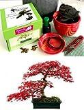 Exklusive Komplette Bonsai Anzuchtset (Fächer-Ahorn, japanische Ahorne)-Pflanzgefäß aus Keramik! Zehn Teile - Komplette Set in der Geschenkbox