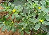 Portulak Seed Essbare Kochen Kräuter medizinischen Werte Easy Care Gemüsepflanze Bonsai Blühende Pflanzen Garten Zier 100 Stück