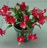 Kostenloser Versand 100Particles/Beutel-Rot Schlumbergera Seed Balkon Bonsai Perennial Blume Schlumbergera Zygocactus Truncatus Seeds 3