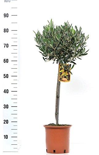 Olivenbaum - Olea Europea Stämmchen 80 cm