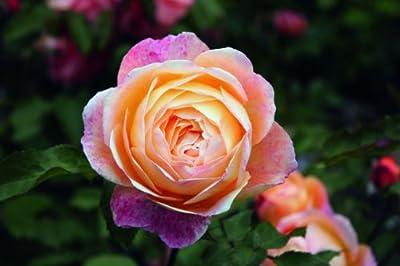 Rose Lady Emma Hamilton® (im grossen Container) - Kräftig entwickelte Pflanze im 6lt-Topf von Lubera AG auf Du und dein Garten