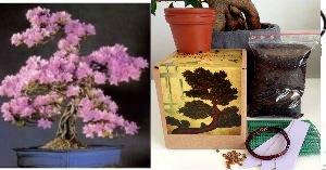 Bonsai Anzuchtset - Saatausstattung zum pflanzen eines Judasbäume Bonsais -Samen / Pflanzentöpfe / Erde / Draht / Anleitung/Planzentopfnetz/Etiketten