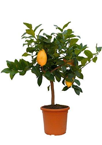 Zitronenbaum Mezzo