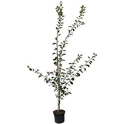 Müllers Grüner Garten Shop Pflaumenbaum Königin Viktoria sehr saftige selbstfruchtbare Pflaume 150-170 cm Buschbaum 9,5 L Topf