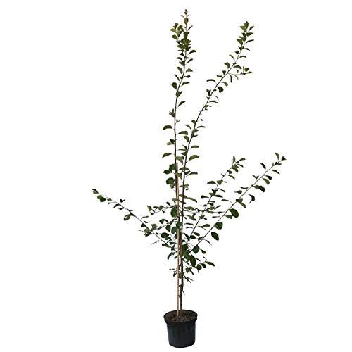 Müllers Grüner Garten Shop Hauszwetsche Zwetsche Buschbaum kleinbleibend schwachwachsend 120-150 cm 10 Liter Topf Wangenheims
