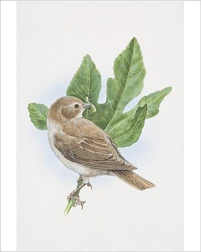 photographic-print-of-garden-warbler-sylvia-borin-illustration-of-bird-sitting-on-oak-brach-with