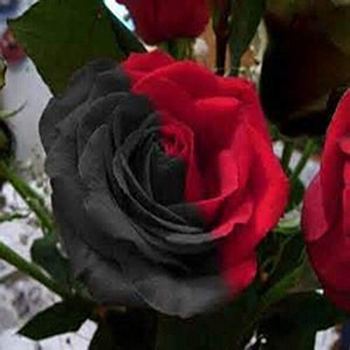 Shoppy Star Shoppy étoiles: 100pcs Rose Noir Rouge: 100 pcs Vivaces Fleurs Rose Belle Graines de jardin Maison Balcon Jardin Décoration Fences Plantes Fleurs (100pcs Rose Noir Rouge)