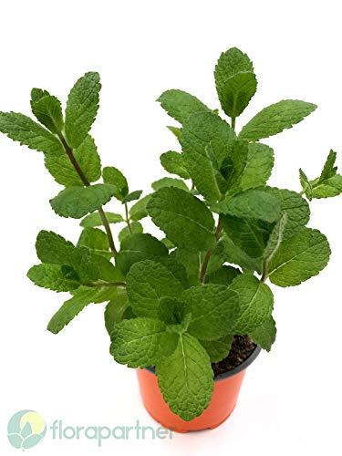 Hugo Minze Mentha spicata Kräuter Pflanzen 4stk