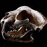 BUG-LPH Modello Cranio Cane Terra, Puntelli Scena Film Squisito Resi Mestieri Decorazione Testa Scrivania Cranio Resina