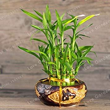 50pcs lucky bamboo bonsai, piccolo vaso piante purificano l'aria, piantare è semplice, germogliamento tasso del 95% ornamentali pianta: 5