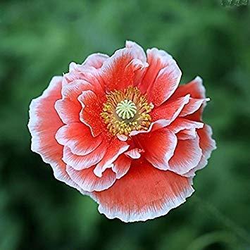 Vistaric 1 confezione originale 2 semi/semi di fiore pacchetto rosa gladiolo, perenne pianta semi bulbi