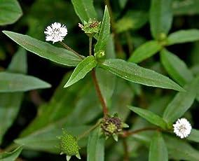 Plant House Live Bhringraj-Eclipta alba-Bhangra-False daisy Medicinal Plant with POT