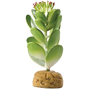 Jade Kaktus
