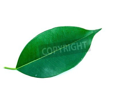 Leaves of a ficus Tree 60729980, Alu-dibond, 50 x 40 cm