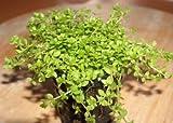 1 Topf Perlkraut, Vordergrundpflanze Aquarium
