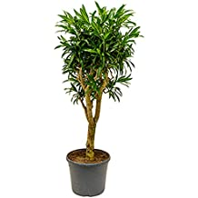 Große Zimmerpflanzen Wenig Licht suchergebnis auf amazon de für zimmerpflanzen wenig licht
