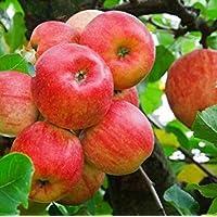 Fash Lady 2: zwerg Bonsai Baum 50 Samen Pick Köstliche Früchte In Ihrem Garten Einfach-wachsen Bonsai FruitFree Versand 2