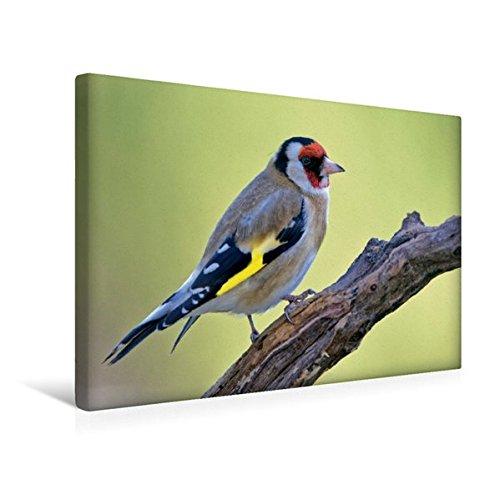 Premium Textil-Leinwand 45 cm x 30 cm quer, Stieglitz   Wandbild, Bild auf Keilrahmen, Fertigbild auf echter Leinwand, Leinwanddruck: Vögel im heimischen Garten (CALVENDO Tiere)