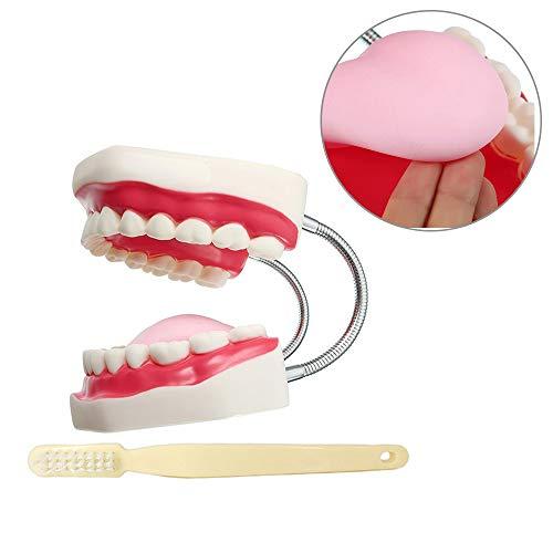 CYXTEETH Modelo de enseñanza estándar Dental, Dientes/Goma Blanda/Lengua/Cepillo de Dientes Demostrar-fácil de almacenar y Usar