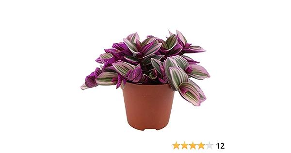 Tradescantia NANOUK Hauteur 10-15cm Pot /Ø 12cm Plante verte dint/érieur Mis/ère /à feuilles vert-rose-violet