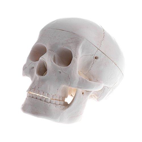 T TOOYFUL Lehre Schädel Mensch Anatomie Kopf Modell Pädagogisches Zubehör