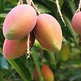 Vamsha Nature Care Mango Amrapali, Aam Amrapali (Grafted) - Plant 1.5 -2 feet