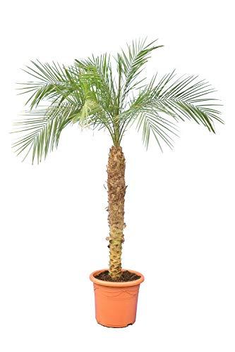 Phoenix roebelenii, Palme, Zwergdattelpalme - Stammhöhe 100-120 cm // Palettenversand innerhalb Deutschland