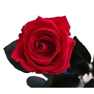 Decoflorales® - Das Geschenk zum Valentinstag - Eine echte, konservierte Rose, die nicht verblüht. Blütenfarbe rot