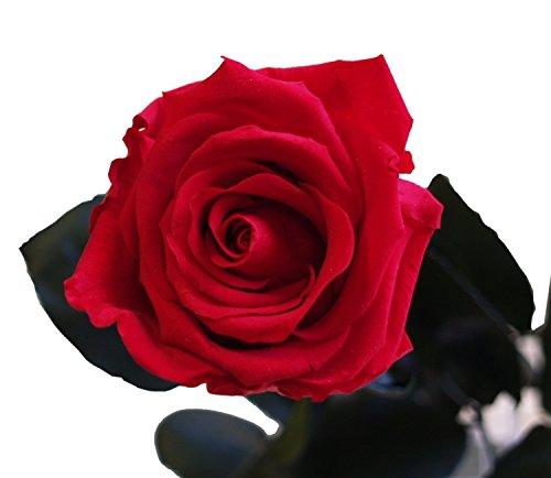 Galleria fotografica Decoflorales® - Rosa stabilizzata, rossa - Altezza 55 cm