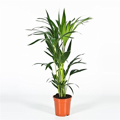 Blumen-Senf Kentia Palme 110 cm Howea forsteriana