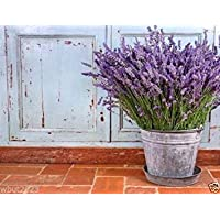 VIRTUE English Lavender (1000 Seeds) Organic,, Untreated Herb Seed !