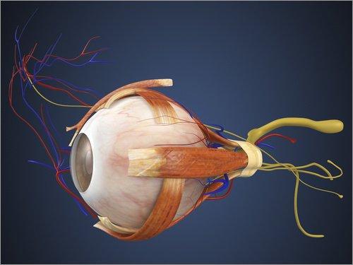 Posterlounge Hartschaumbild 90 x 70 cm: Menschliches Auge mit Muskeln und Blutgefäßen von Stocktrek Images