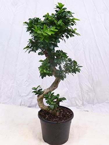 "Ficus microcarpa \""Ginseng\"" BONSAI 110/120(!) cm // Zimmerpflanze"